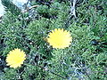 Calendula suffruticosa b.jpg