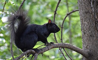Black squirrel - Image: Calgary black squirrel
