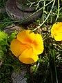 California poppy flower (2).jpg