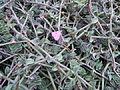 Callisia navicularis - Serres d'Auteuil.JPG