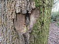 Callus growth on oak bark, Powfoot, Dumfriesshire.jpg