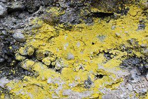 Caloplaca - Image: Caloplaca chrysodeta
