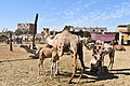 Camel market at Daraw in 2017, photo by Hatem moushir 12.jpg