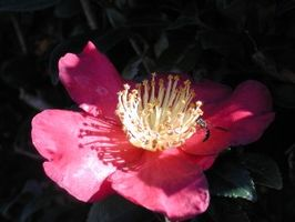 Camellia sasanqua  gecultiveerd in Hemingway, South Carolina