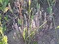 Camelina microcarpa (3751081136).jpg