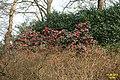 Camellia (WGP) (33264719021).jpg