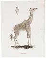 Camelopardalis giraffa - 1700-1880 - Print - Iconographia Zoologica - Special Collections University of Amsterdam - UBA01 IZ21600159.tif