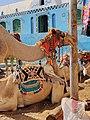 Camels in Nubian Village.jpg