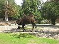 Camelus bactrianus in Zoo Krefeld (2).JPG