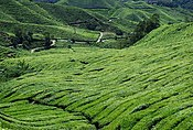 Cameron highlands.jpg