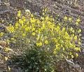 Camissonia multijuga 2.jpg
