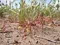 Camissonia parvula (5809034948).jpg