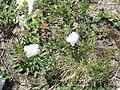 Campanula cochleariifolia04.jpg