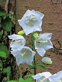 Campanula latifolia (white selection) 1.jpg