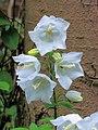 Campanula latifolia (white selection) 1.jpg