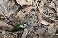 Campsosternus mirabilis (35634680616).jpg