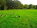 Canada Geese - panoramio (19).jpg