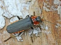Cantharis fusca (2006-05-29).jpg