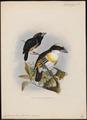 Capito maculicoronatus - 1870-1871 - Print - Iconographia Zoologica - Special Collections University of Amsterdam - UBA01 IZ18800105.tif