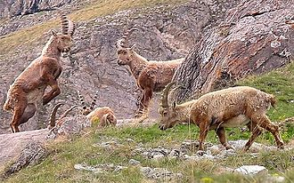 Alpine ibex - Young ibex at play