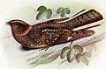 Caprimulgus poliocephalus.jpg