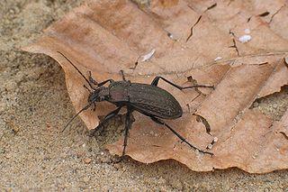Bystruška medená (Carabus cancellatus)