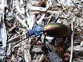 Carabus hispanus bl1.jpg