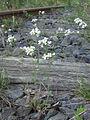 Cardaminopsis arenosa Oulu, Finland 26.05.2013.jpg