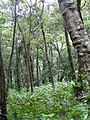 Cardamom plantation Southern Western Ghats.jpg