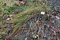 Carex colchica - Botanischer Garten, Dresden, Germany - DSC08670.JPG