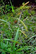 Carex sylvatica3.jpg