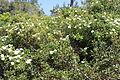 Carmel Flora - Hai-Bar Nature Reserve IMG 0866.JPG