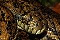 Carpet Python, Marcoola QLD 02.jpg