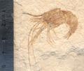 Carpopenaeus callirostris.png