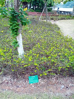 Cassia bicapsularis in Jimei University 20131224.jpg