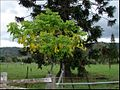 Cassia fistula with Bunya pine (4345469753).jpg