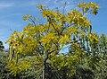 Cassialeptophylla.jpg