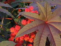 Castor Oil Plant - Flickr - treegrow.jpg