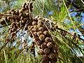 Casuarina cunninghamiana fruit (4).jpg