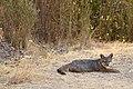 Catalina Island Fox (Urocyon littoralis catalinae) lying down.jpg