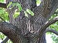 Catalpa speciosa 9zz.jpg