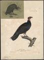 Catharista aura - 1825-1834 - Print - Iconographia Zoologica - Special Collections University of Amsterdam - UBA01 IZ18100130.tif
