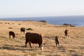 Cattle graze near the Pacific Ocean on the Pacific Coast Highway in California LCCN2013633427.tif