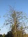 Ceiba pentandra - Kapok Tree at Peravoor 2019 (11).jpg