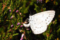 Celastrina.argiolus.laying.eggs.jpg