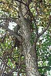 Celtis occidentalis 00732.jpg