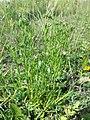 Centaurium littorale (subsp. uliginosum) sl16.jpg