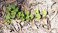 Centella asiatica habit.jpg