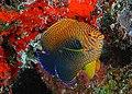 Centropyge potteri.jpg