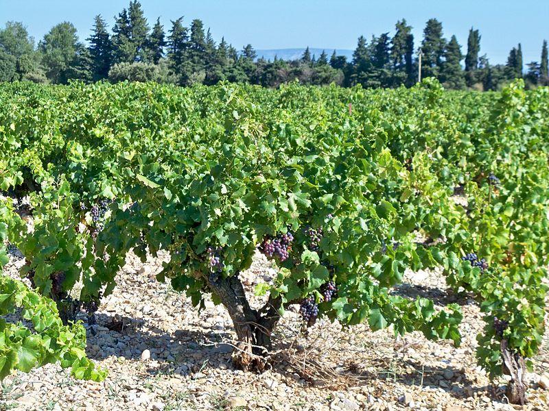 Fichier cep de wikip dia for Cep de vigne decoration